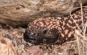 Gila Monster by Chad M. Lane