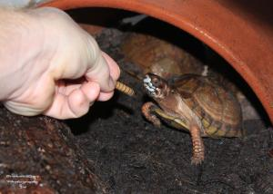 Three-toed Box Turtle photo by Branuen Cary
