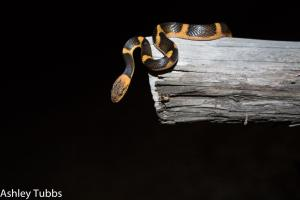 Northern Cat-eyed Snake photo by Ashley Tubbs