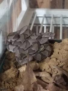 Eastern Copperheads photo by Chris Inns
