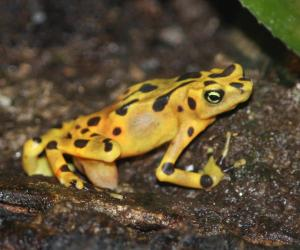 Panamanian Golden Frog photo by Ltshears CC BY-SA 3.0