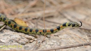 Tiger Keelback photo by Kim, Hyun-tae CC BY 4.0