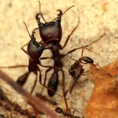 Bullet Ant Facts Anatomy Diet Habitat Behavior