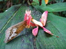 Learn about Nature | Orchid Mantis Care Sheet - Learn about Nature