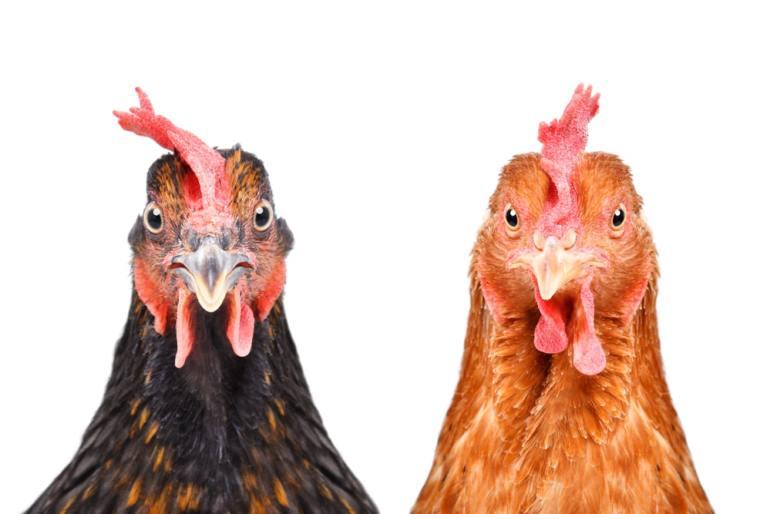 滴雞精-土雞-肉雞
