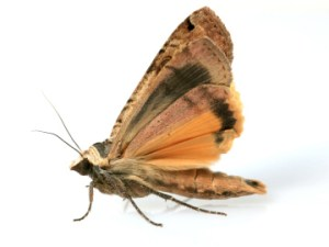 textile-moth