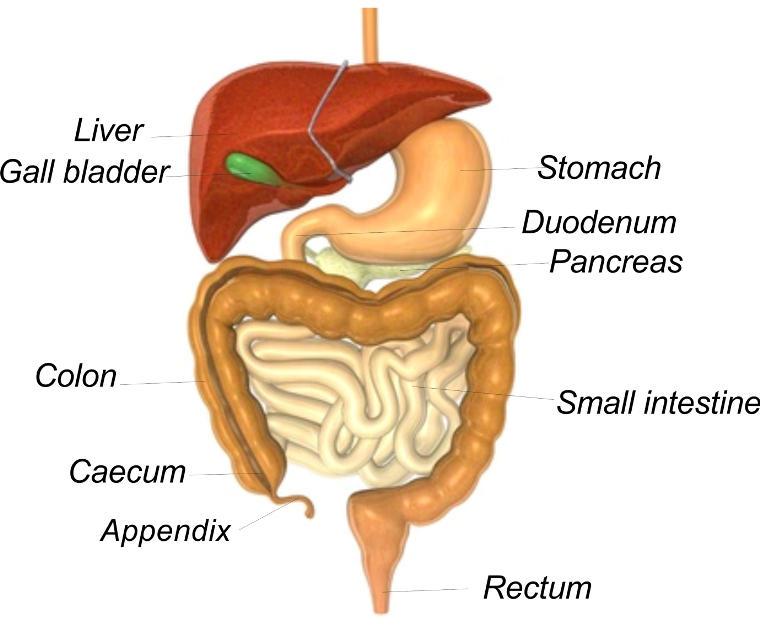 digestive system lack of sleep