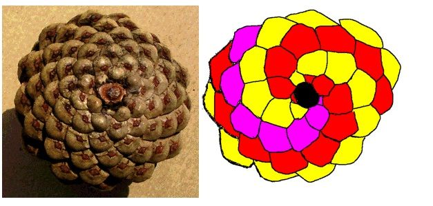 Pine cone spiral & Visualization