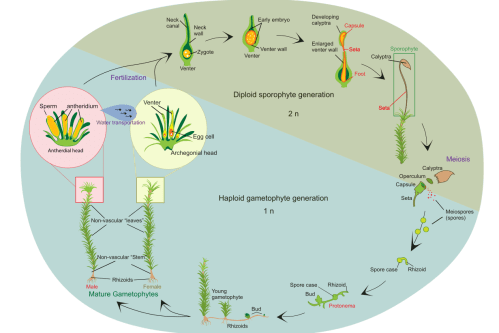small resolution of life cycle of a typical moss polytrichum commune adapted by eike st bner based on figure by ladyofhats public domain from wikimedia commons