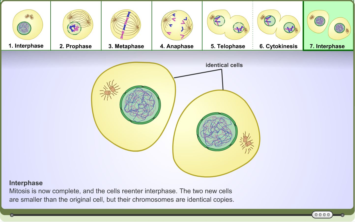 High School Science Learning Activity Mitosis