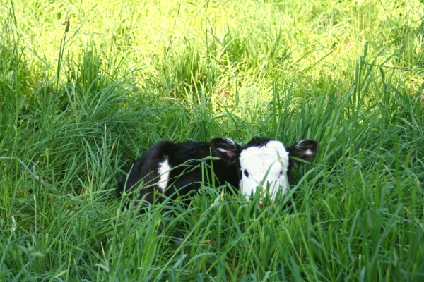 Hours Old Calf