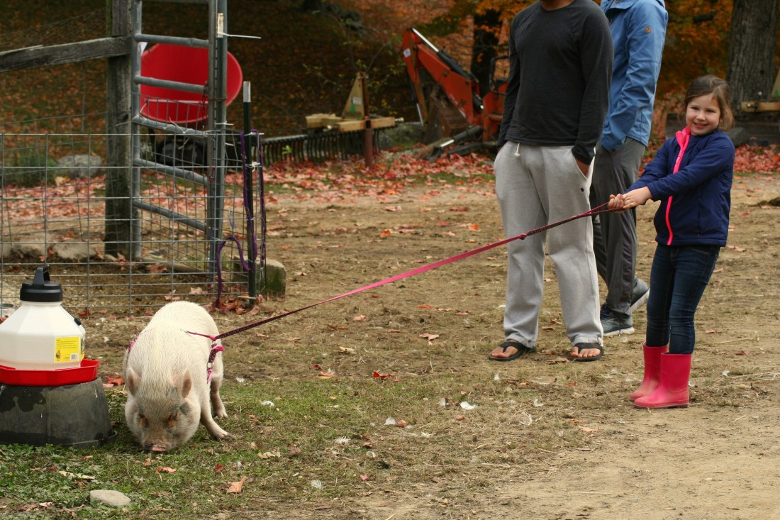 Leading Tazzy, the pig