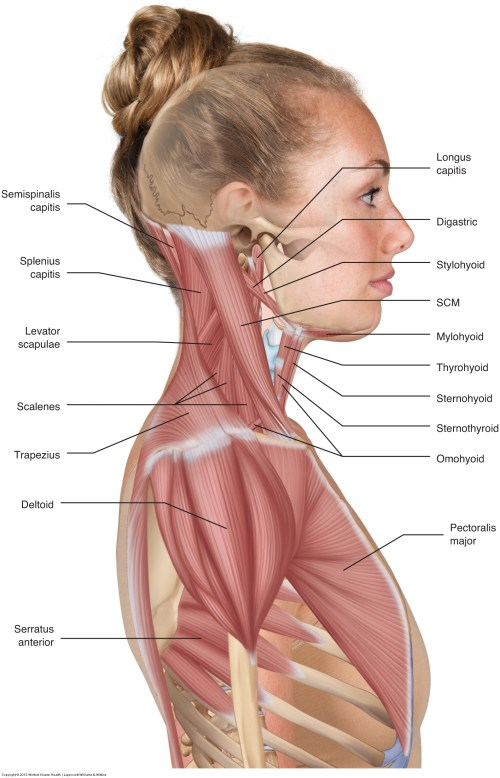 small resolution of furthermore the therapist needs to know the target muscle s mover actions knowing the mover actions of the muscles of the neck allows the therapist to ask