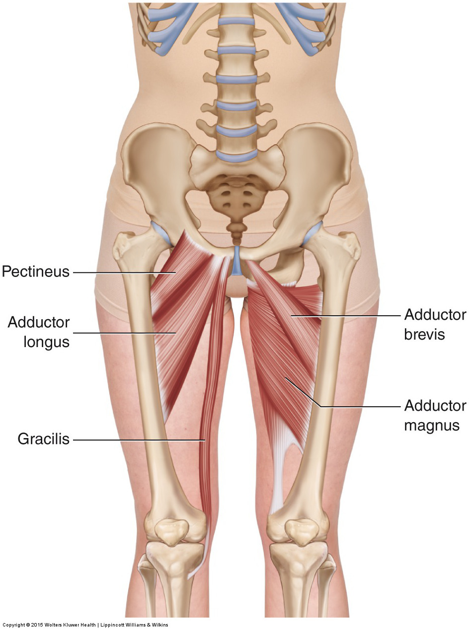 medium resolution of anterior views of the adductor group