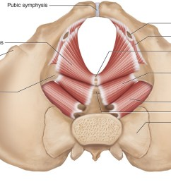 the muscles of the pelvic floor a b medial views of the right side of the pelvis a superficial b deep c d superior views of the muscles of the  [ 1970 x 1050 Pixel ]