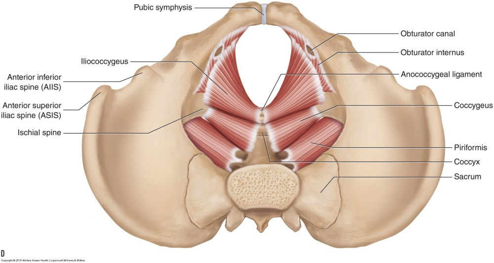 medium resolution of the muscles of the pelvic floor a b medial views of the right side of the pelvis a superficial b deep c d superior views of the muscles of the