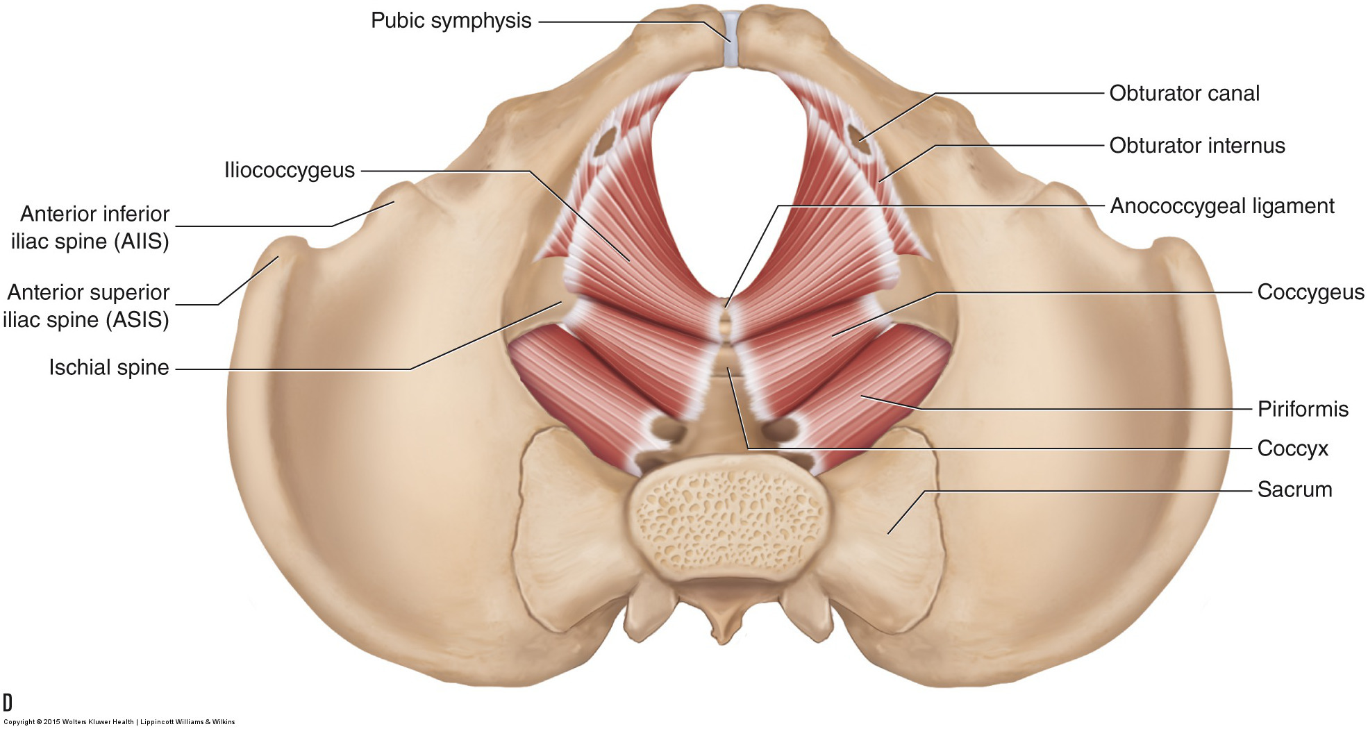 hight resolution of the muscles of the pelvic floor a b medial views of the right side of the pelvis a superficial b deep c d superior views of the muscles of the