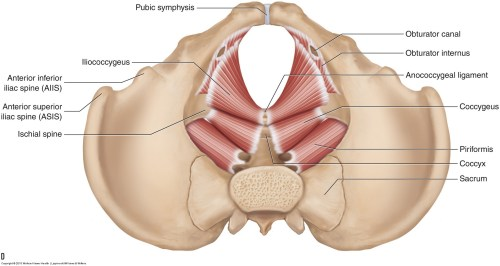 small resolution of the muscles of the pelvic floor a b medial views of the right side of the pelvis a superficial b deep c d superior views of the muscles of the
