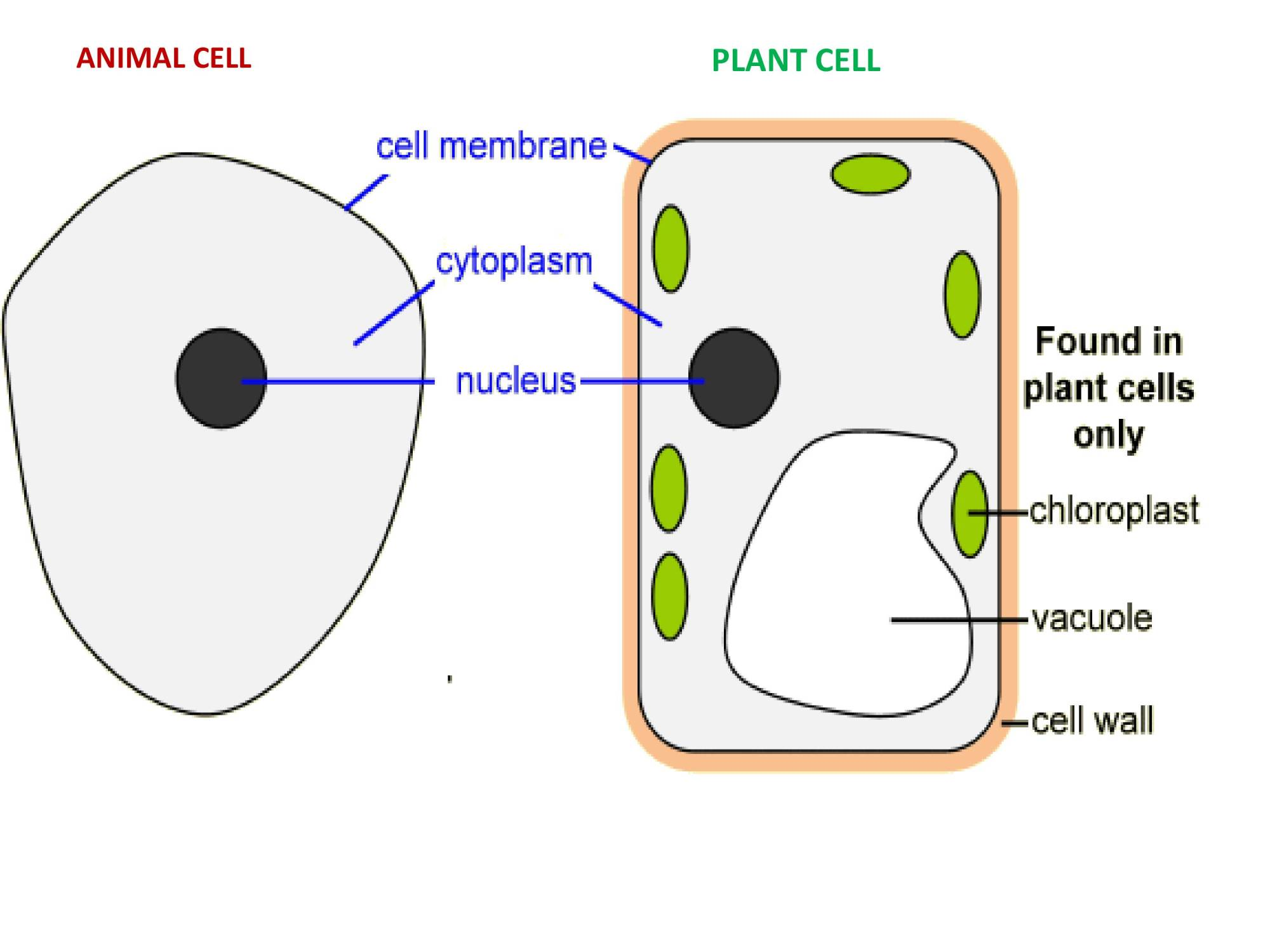 hight resolution of IGCSE Grade 6 Biology Cells And Organisation - PowerPoint Slides