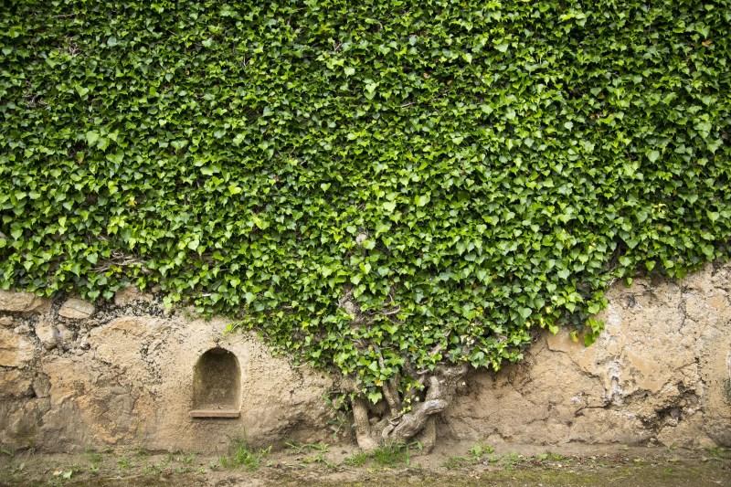 Ivy sur un mur de la Villa Cimbrone, Ravello