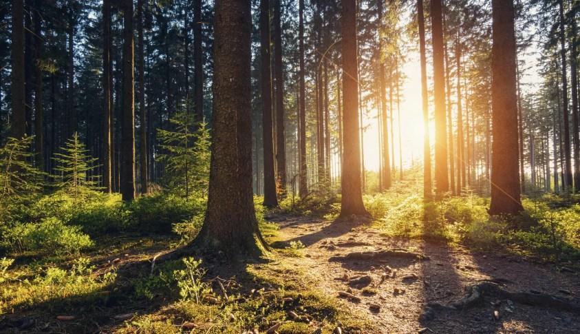 Pini în pădure