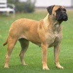 bullmastiff temperament