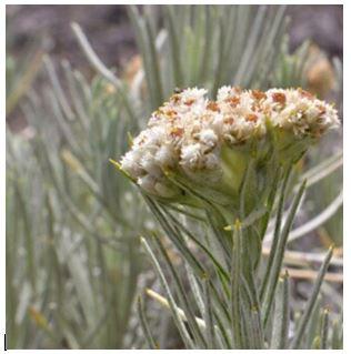 Bunga Abadi EdelWeis