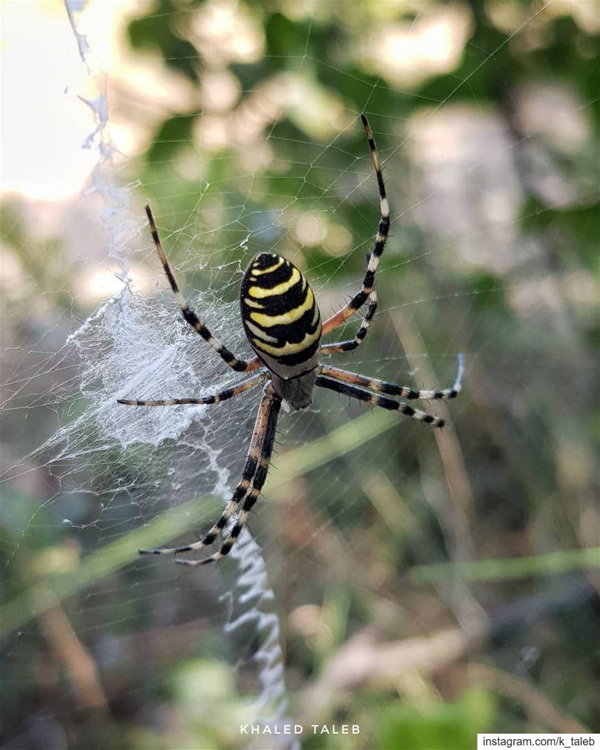 العنكبوت الكبير