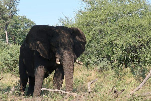 Elefant in Afrika