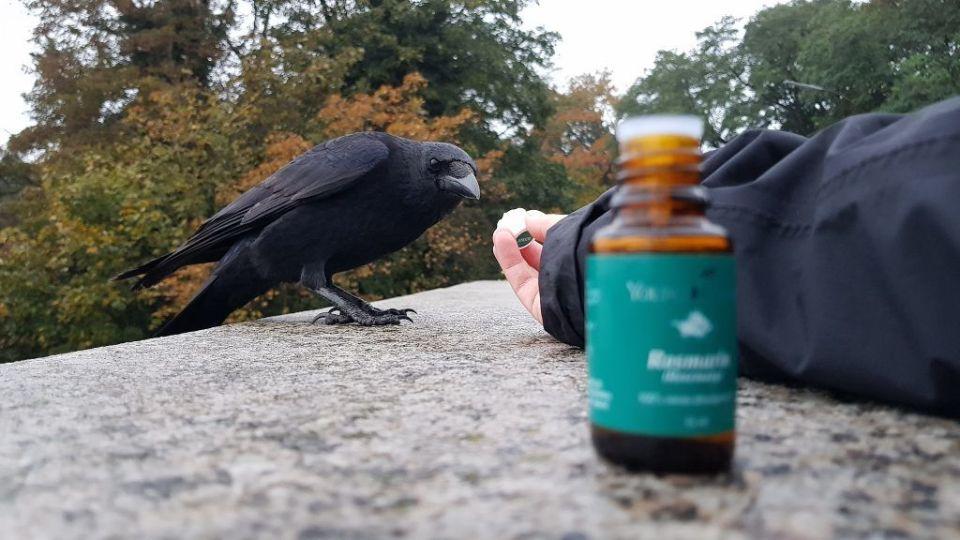 Krähe schnuppert an Rosmarin-Öl