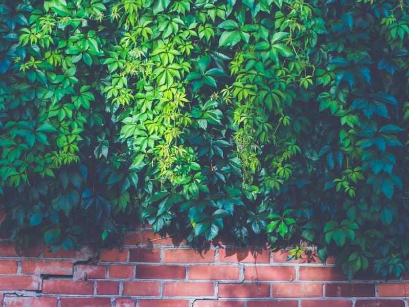 mur végétal sur un balcon