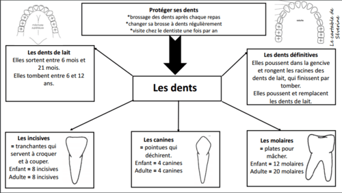 Carte mentale : les dents