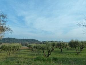Les rangées d'olivier, symbole de la douceur de vivre de Provence.
