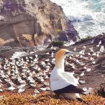 Gannets_animaux