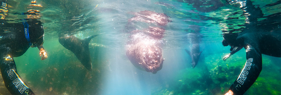 Seal_swim_Kaikoura