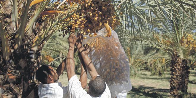 Les dattes de Guelmim sont saines et indemnes de toutes maladies