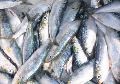 sardine_2_4820.jpg
