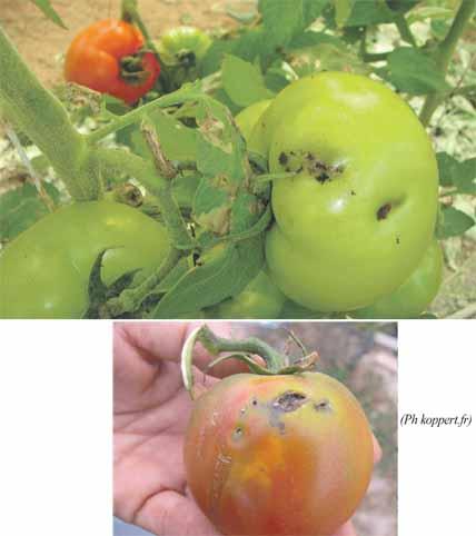 tomates_ravageurs_067.jpg