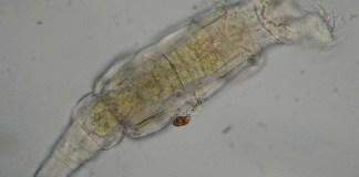 rotifère bdelloïde