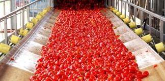 tomate saisonnière