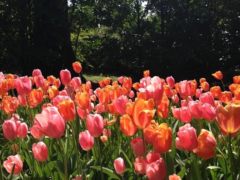 fioritura tulipani parco sigurtà