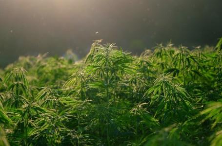 Maroc.Le cannabis médical rapporterait près de 110.000 dhs par ha par an