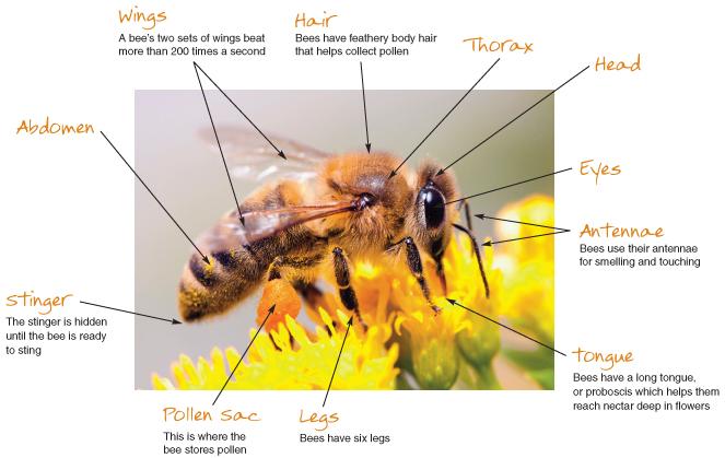 anatomia albinei