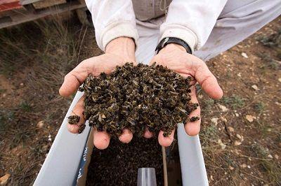 de ce mor albinele cel mai des