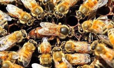 4 rase de albine