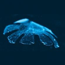 Des chercheurs américains ont fabriqué un mini-robot organique reproduisant la nage de la méduse