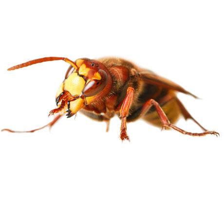 Ground Hornet