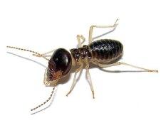 worker-solider-termite