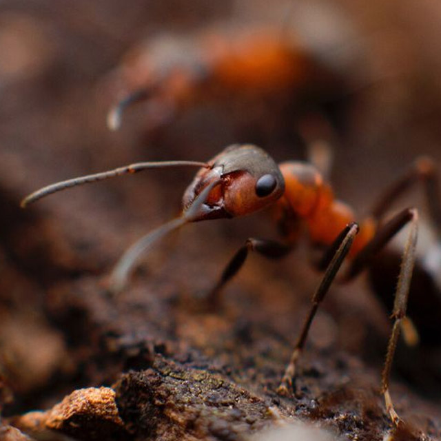 Service Areas Common Pests - Ants
