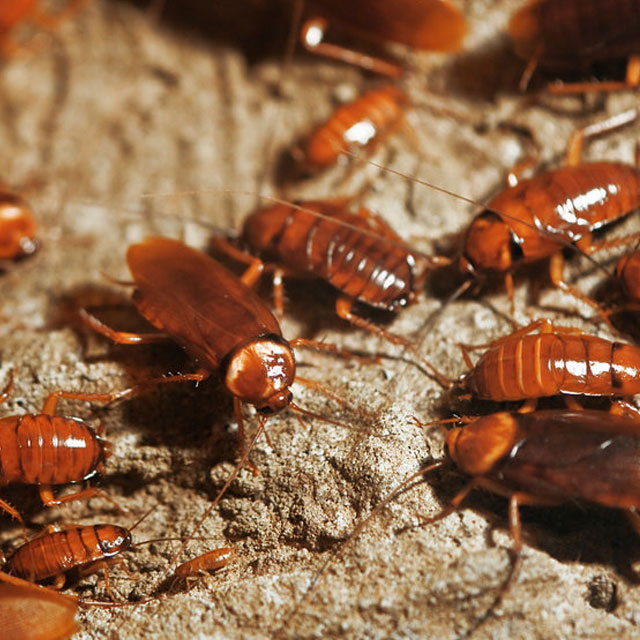 Service Areas Common Pests - Cockroaches
